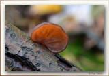 Judasoor -  Auricularia auricula