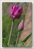 the first tulipes