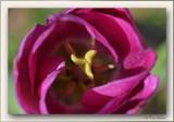 tulipe close-up