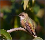 Rufous/Allen's Hummingbird at Green Spring Gardens