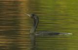 Indian Cormorant - Phalocrrorax fusicollis