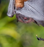 Short-nosed Indian fruit bat (Cynopterus sphinx)