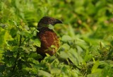 Greater Coucal or Crow Pheasant (Centropus sinensis)