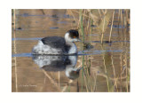 Black-necked Grebe-Podiceps nigricollis