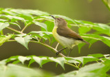 Purple-rumped Sunbird (Leptocoma zeylonica)
