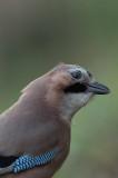 Jay - Garalus glandiarus