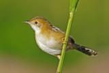 Zitting Cisticola or Streaked Fantail Warbler (Cisticola juncidis)