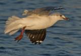 Hartlaub's Gull - Chroicocephalus hartlaubii