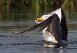 Kelp Gull - Larus dominicanus