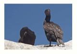 Phalacrocorax neglectus (Bank Cormorant)