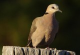 Red-eyed Dove -Streptopelia semitorquata