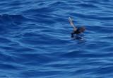 Wilson's Storm Petrel (Oceanites oceanicus)