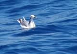Sabine's Gull - Larus sabina