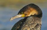 Cape Cormorant or Cape Shag(Phalacrocorax capensis)