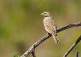 Crithagra flaviventris (Yellow canary)