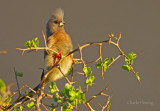 White-backed Mousebird (Colius colius)