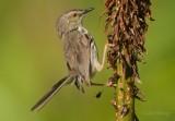 Karoo Prinia or Spotted Prinia (Prinia maculosa)