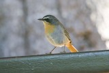 Cape Robin-Chat, Cossypha caffra,