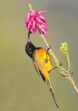 Orange-breasted Sunbird, Anthobaphes violacea