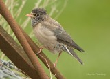 Rose-coloured Starling - Pastor rosea