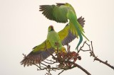 Ringnecked Parakeet