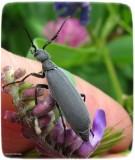 Blister beetle (Epicauta)