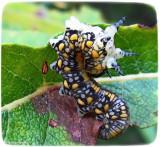 Pine sawfly larva (Diprion similis)