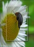 Tumbling flower beetle (Mordesllistena pulchra)