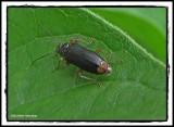 Fire-coloured Beetle (Pedilus elegans)