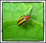 Three-lined potato beetle (Lema)