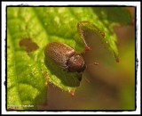 Fruitworm Beetles (Family: Byturidae)