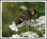 Bee fly (Villa cf. alternata), on yarrow