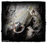 Winter firefly (Ellychnia corrusca)
