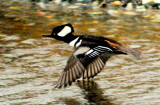 Hooded Merganser DSC_0860.JPG