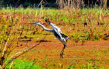 Landing of Grey Heron