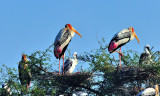 Indian Stork: Family of Many Portrait