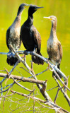 The 3 Cormorant's Meeting