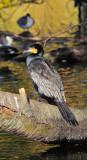 Cormorant in Beautiful Autumn Light