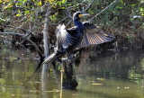 Cormorant Wings Stretching in Autumn Sun