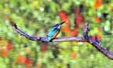 Kingfisher in Fall