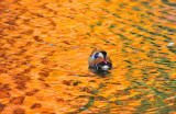 Mandarin on Lake of Blood