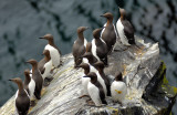 The Rock of the Guillemots
