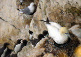 Gannet on Nest with Chick