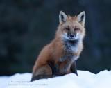 Renard roux / Red fox