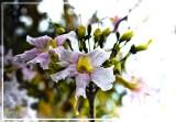 Unknown flowering tree