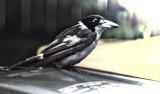 Bedraggled Butcher Bird