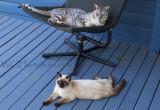 Sir Jaguar & Ms Blue Velvet