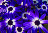 Floral Velvet Blue