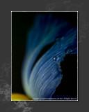 2013 - Dew on the Iris - Lensbaby, Macro