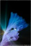 2013 - Dew Drops on the Iris - Lensbaby, Macro